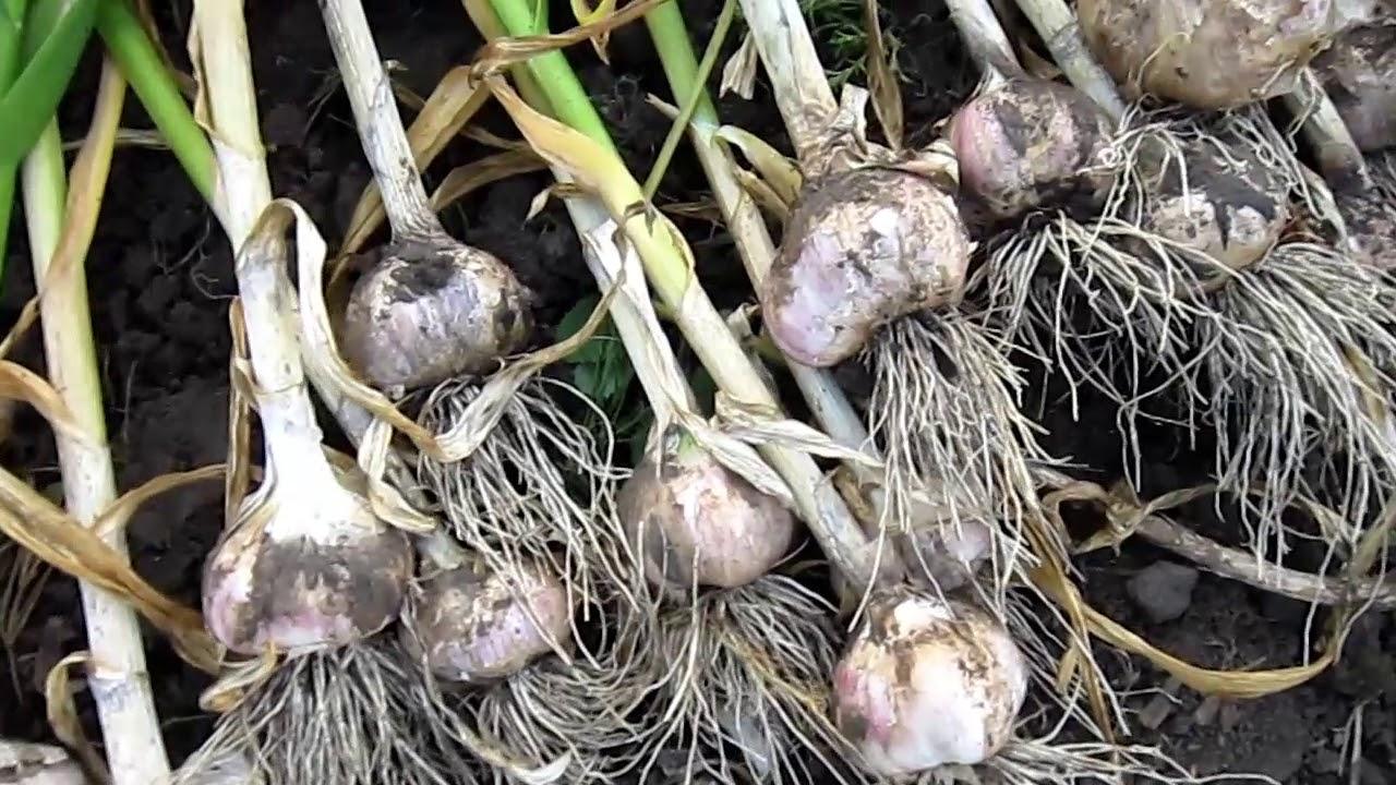 Когда убирать лук и чеснок в июле 2019 года: благоприятные дни по лунному календарю садовода и огородника, рекомендации
