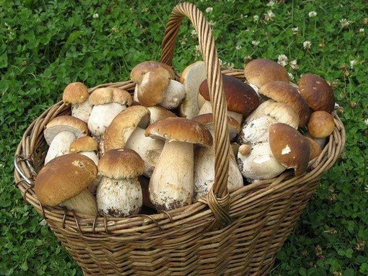 Белые грибы в Подмосковье летом 2019: где можно собирать, как отличить от ядовитых грибов
