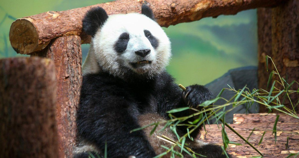 Панды в Московском зоопарке 2019: можно посмотреть онлайн