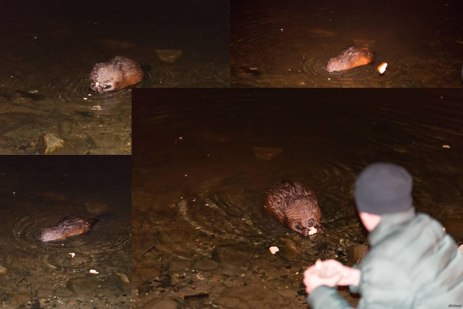 Бобры в Москве-реке: вернулись спустя много лет, причины, где посмотреть бобров