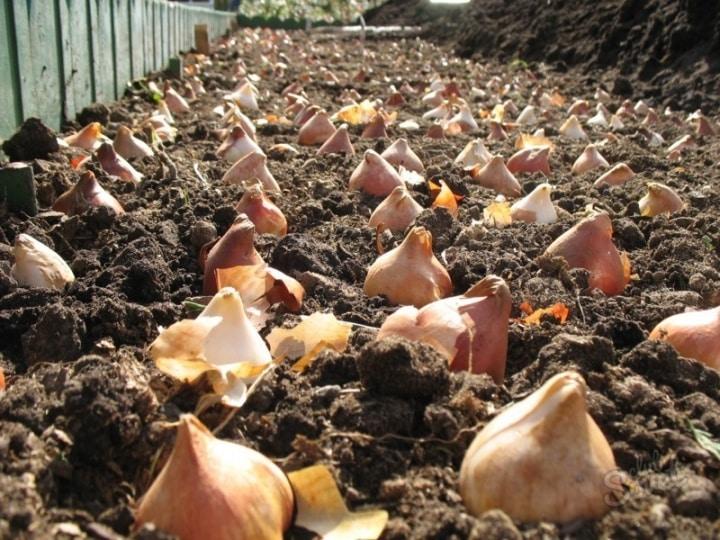 Когда выкапывать тюльпаны после цветения в открытом грунте: можно ли сразу после цветения