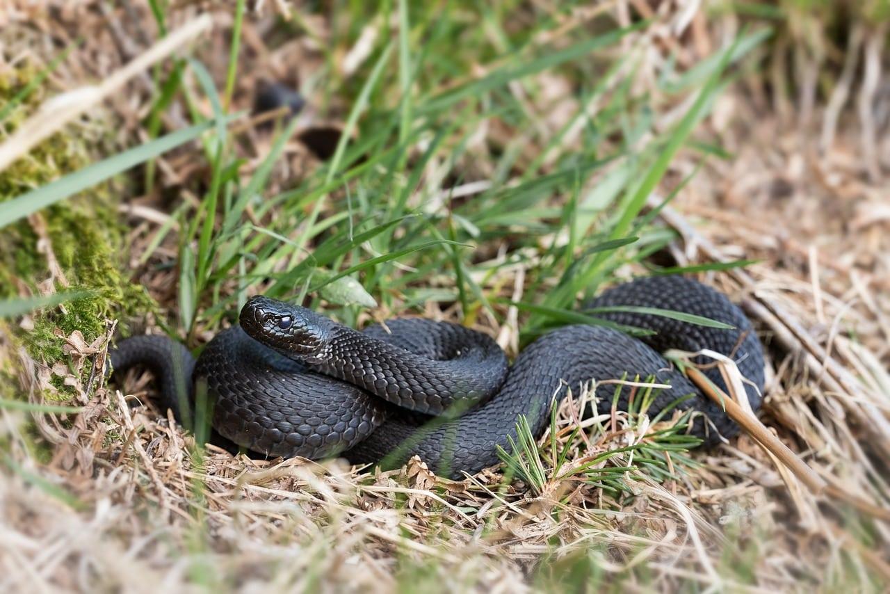 Нашествие змей в Подмосковье: как избежать укусов, что делать если укусила змея