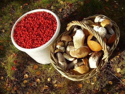 Налог за сбор грибов и ягод в России в 2019. Когда введут, какой закон, сколько штраф