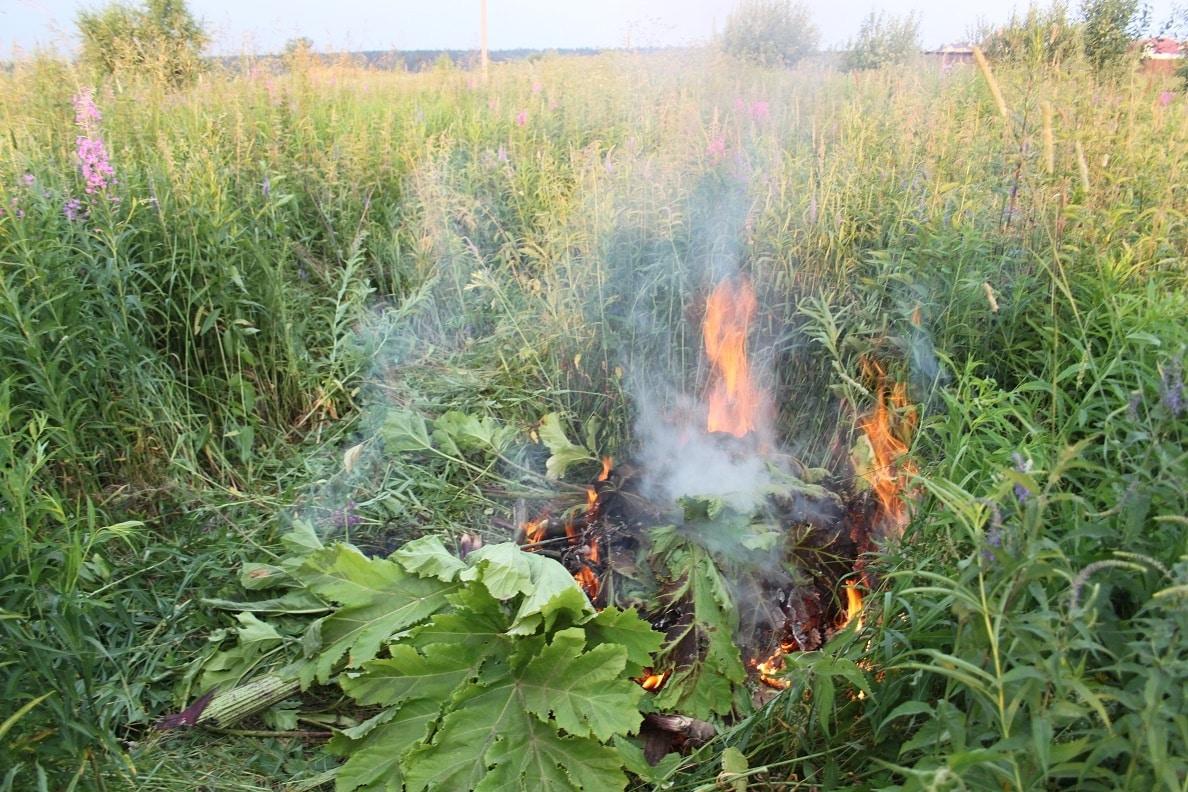 Борщевик на участке: как избавиться и в чем опасность ядовитого растения