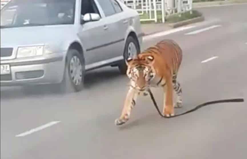 Откуда взялся тигр на трассе в Иваново: есть жертвы или нет