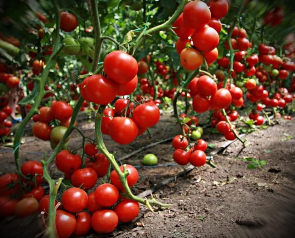 Чем лучше подкормить помидоры в июле для хорошего урожая?