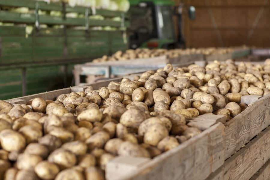 Когда выкапывать картофель по лунному календарю в 2019 году: лунный календарь, сроки сбора урожая картофеля