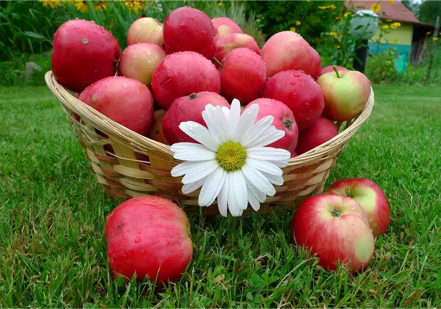 Яблочный спас отмечают 19 августа по церковному календарю