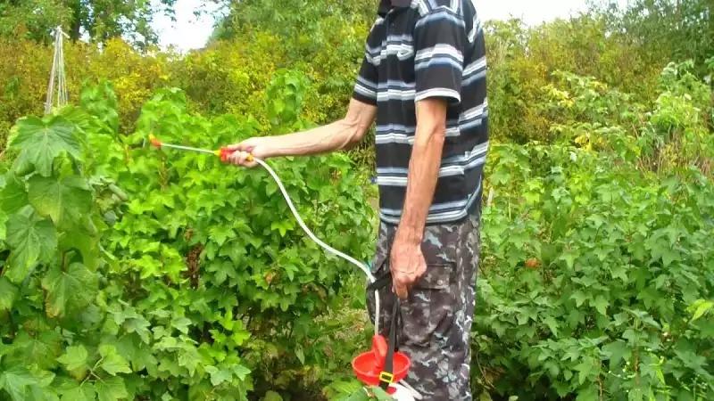 Как правильно ухаживать за смородиной после сбора урожая, летом