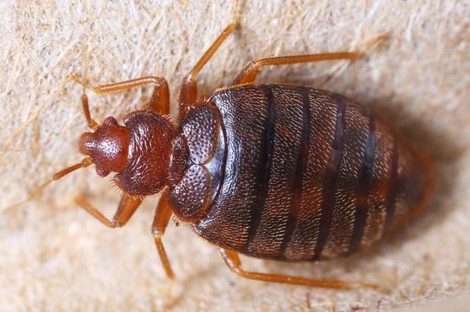 Тропические постельные клопы: нашествие в Москве, причины появления насекомых