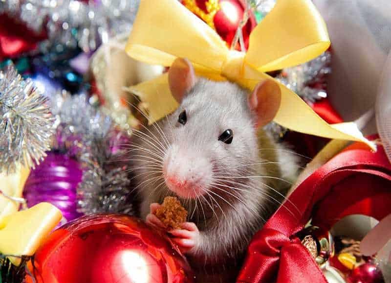 Как нужно встречать 2020 Новый год Белой Крысы