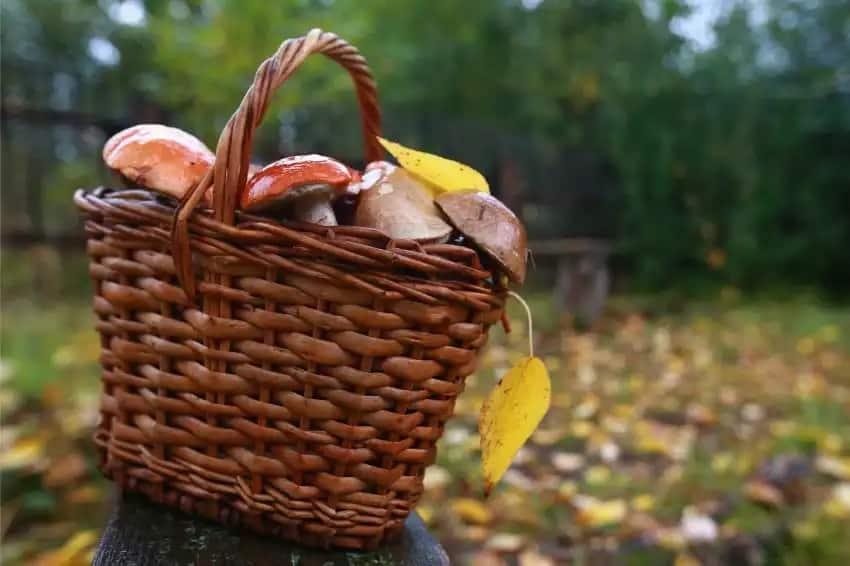 Налог на сбор грибов и ягод в 2019: ввели или нет. Кто и сколько должен платить, что известно про новый налог