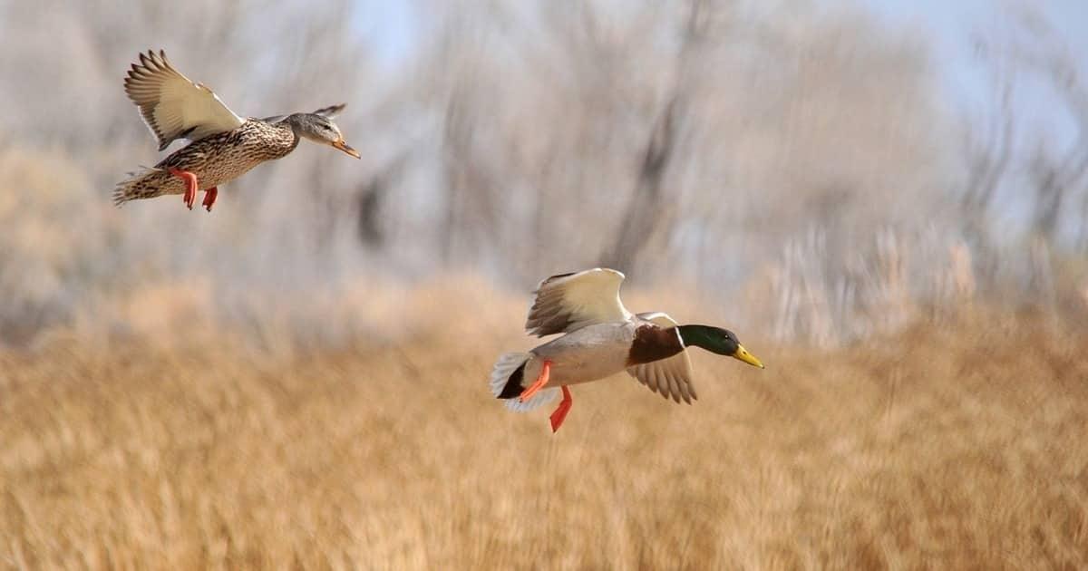 Когда наступит сезон охоты на уток в 2019 году: сроки осенней охоты 2019
