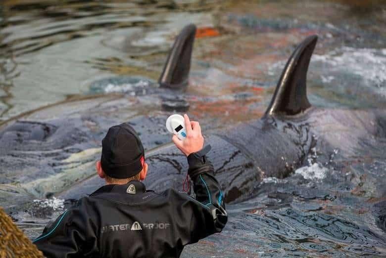 Касатки из «китовой тюрьмы» выпущены в море: подробности происшествия, поведение рыб в море
