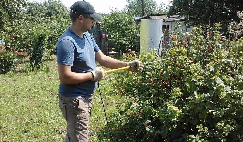 Чем подкормить смородину после сбора урожая в августе: защита смородины от садовых вредителей и болезней