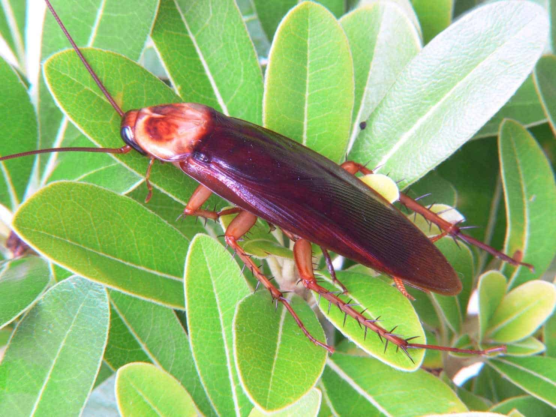 В Сочи появились большие летающие тараканы: как выглядят, откуда в Сочи взялись американские тараканы?