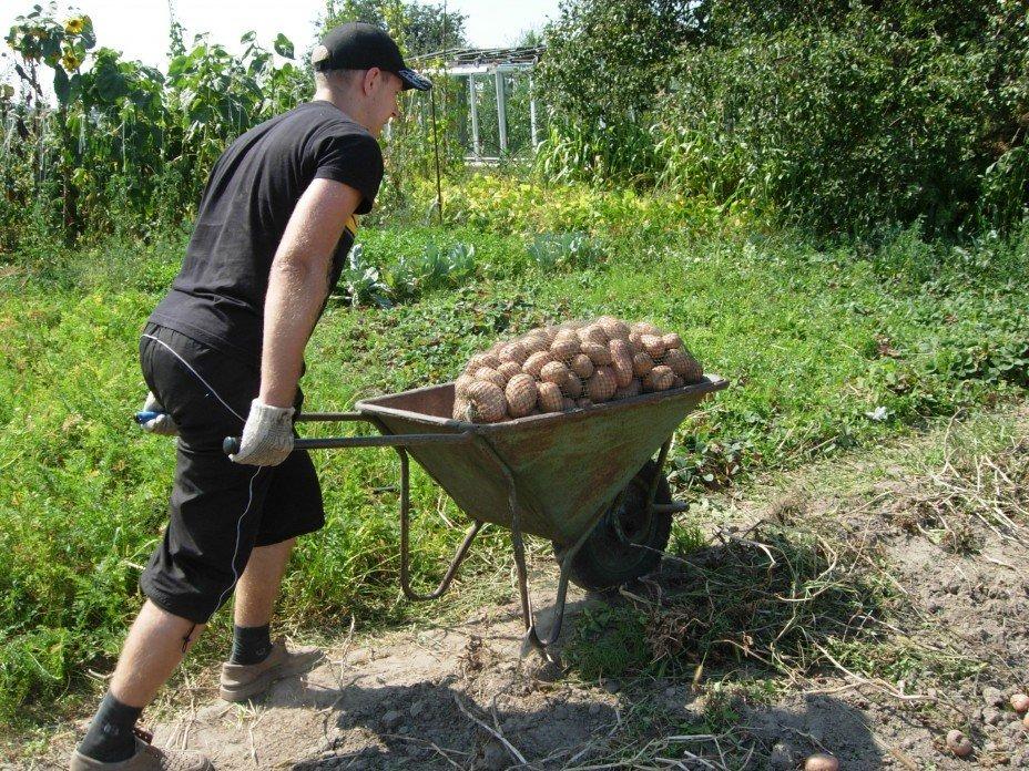 Когда нужно копать картошку в 2019: по лунному календарю, благоприятные дни по регионам России