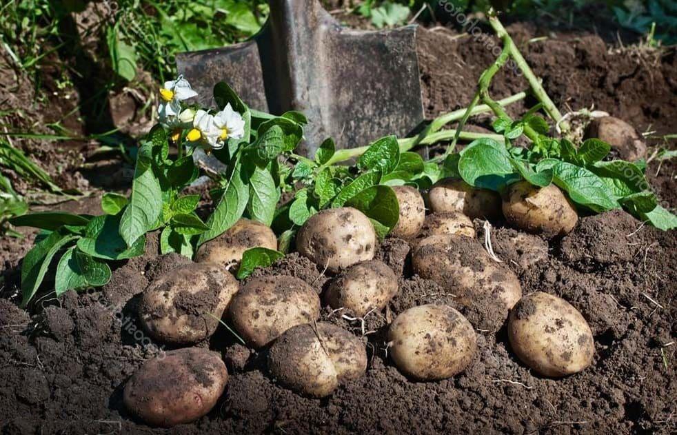Когда убирать картофель в Подмосковье в 2019 году: благоприятные дни по лунному календарю