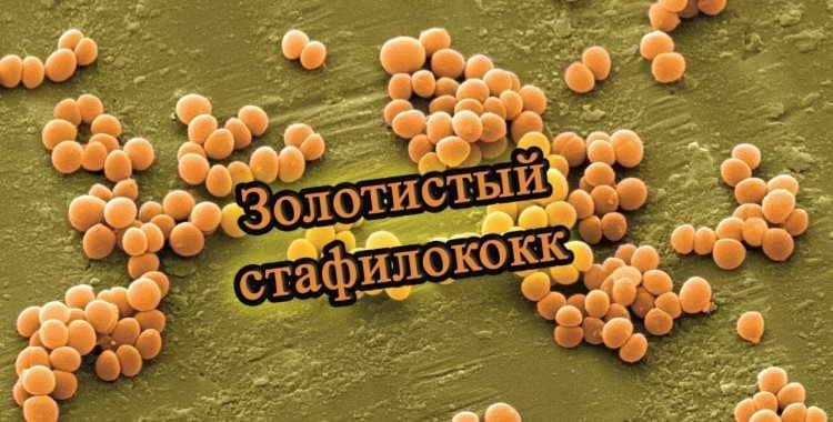 Как передается золотистый стафилококк: чем он опасен, симптомы, как вылечить