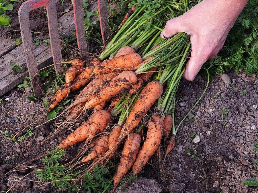 Выкапываем свеклу и морковь на хранение: когда время уборки моркови и свеклы в 2019 году