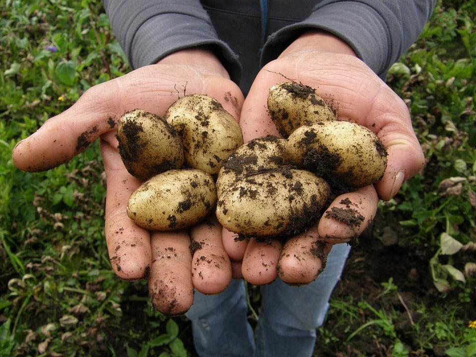 Когда выкапывать картофель на хранение в Подмосковье: как правильно хранить картофель зимой