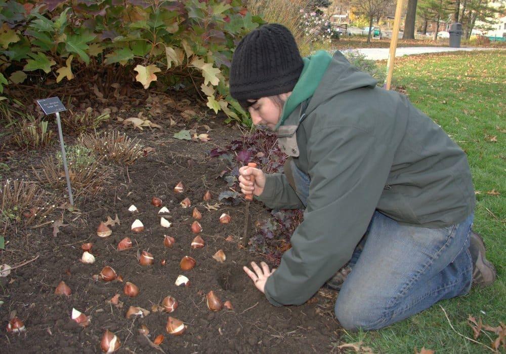 Оптимальные сроки высадки луковиц тюльпана в зиму для получения дружного цветения