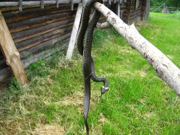 Почему дачникам нельзя убивать гадюк: причины, почему не стоит уничтожать змей