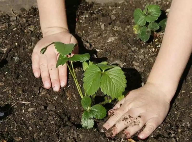 Когда нужно пересаживать клубнику на новое место: осенью или весной