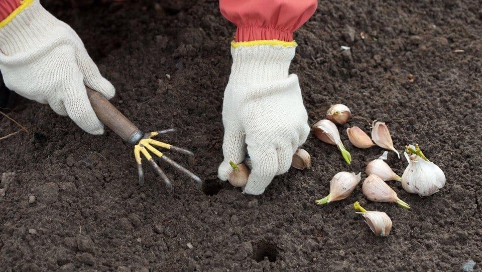 Благоприятные дни для посадки чеснока по лунному календарю осенью 2019: лучшие лунные дни для озимой высадки чеснока