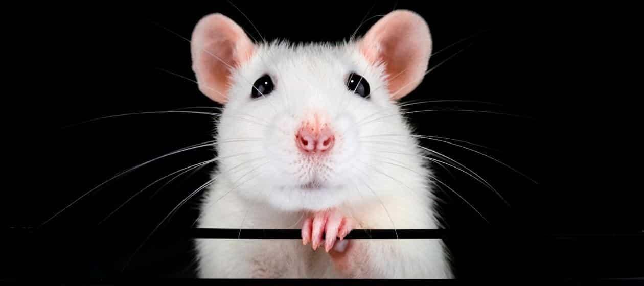Какой цвет у года Крысы 2020: в чем встречать новый год, как украсить ёлку