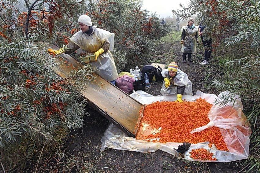 Когда собирать облепиху: правильный сбор ягод облепихи в оптимальные сроки