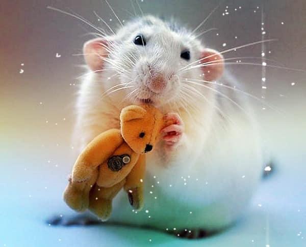 Год Крысы 2020 какого цвета будет: какой цвет любит крыса