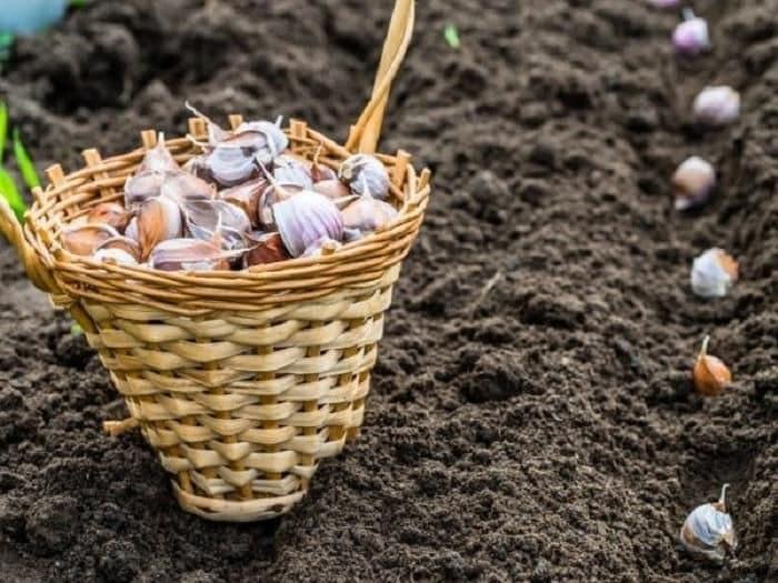 Благоприятные дни для посадки чеснока в 2019 году: лунный календарь посадки озимого чеснока осенью 2019 года