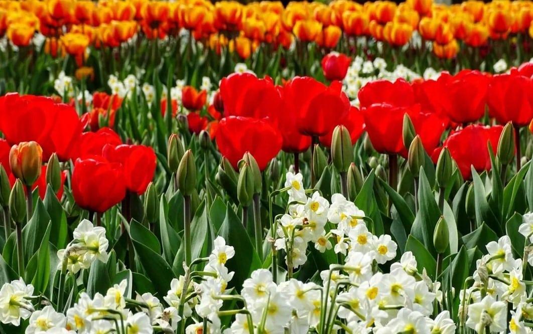 Тюльпаны и нарциссы: когда сажать по лунному календарю в Подмосковье