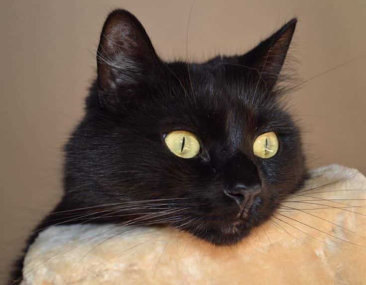 Черная кошка в доме по народным приметам: хорошо или плохо