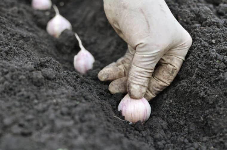 Когда сажать чеснок под зиму по лунному календарю в 2019 году: правила посадки чеснока, максимальный результат