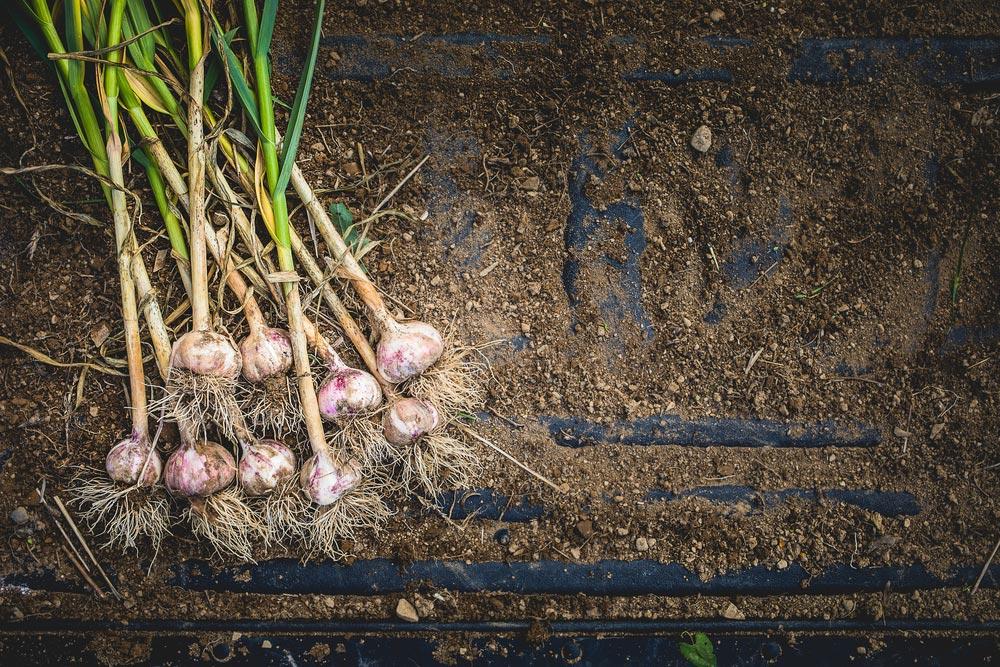 Когда сажать чеснок в октябре-ноябре 2019: лучшие дни для посадки чеснока по лунному календарю
