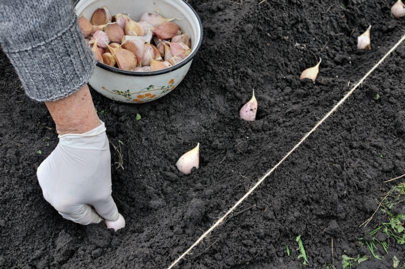 Лунный календарь посадки чеснока под зиму в 2019 году