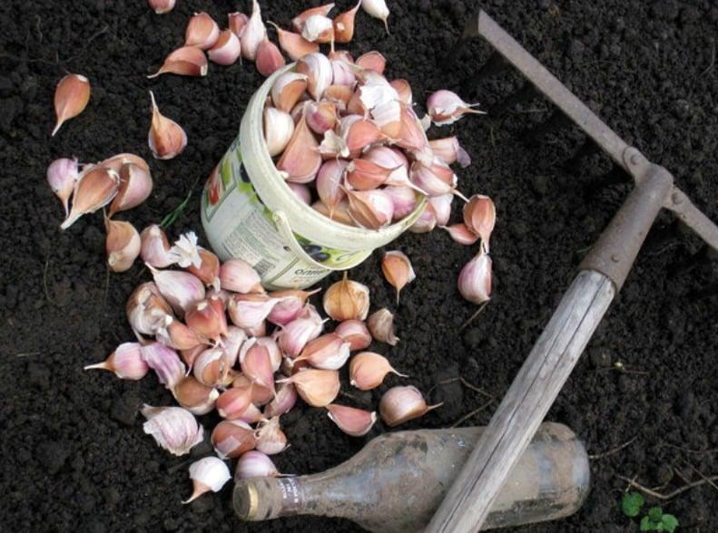 В какие дни октября лучше всего сажать чеснок в 2019 году по лунному календарю: благоприятные дни для посадки чеснока, с чем можно и нельзя сажать чеснок