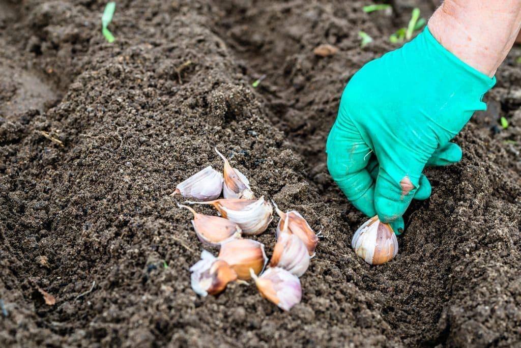 Как и когда правильно посадить лук и чеснок под зиму