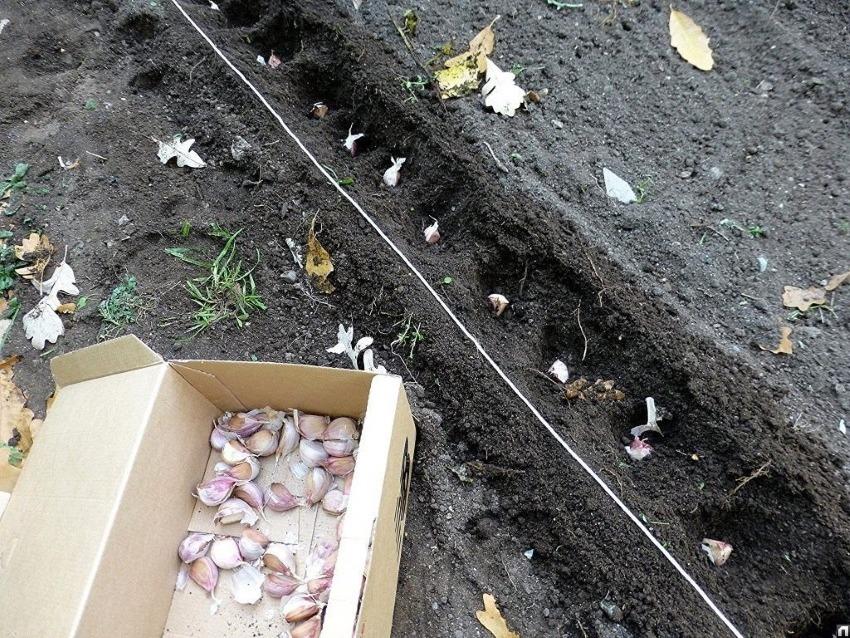 Когда сажать чеснок в октябре 2019: лунный календарь посадки чеснока