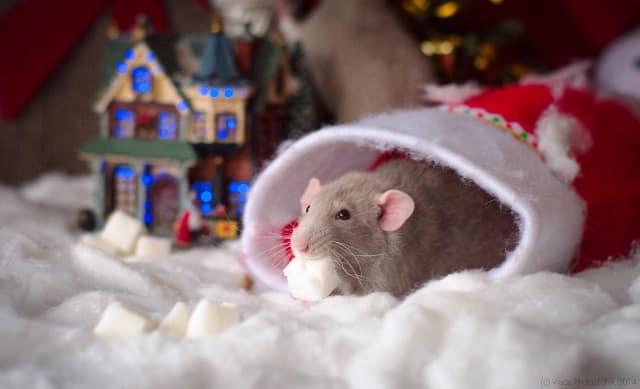 Как встречать год Белой Металлической Крысы: советы, в чём встречать Новый 2020 год