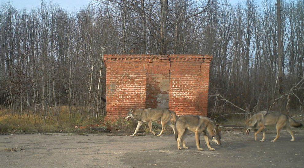 Охота в зоне отчуждения Чернобыльской АЭС: возможна или нет, есть ли радиация