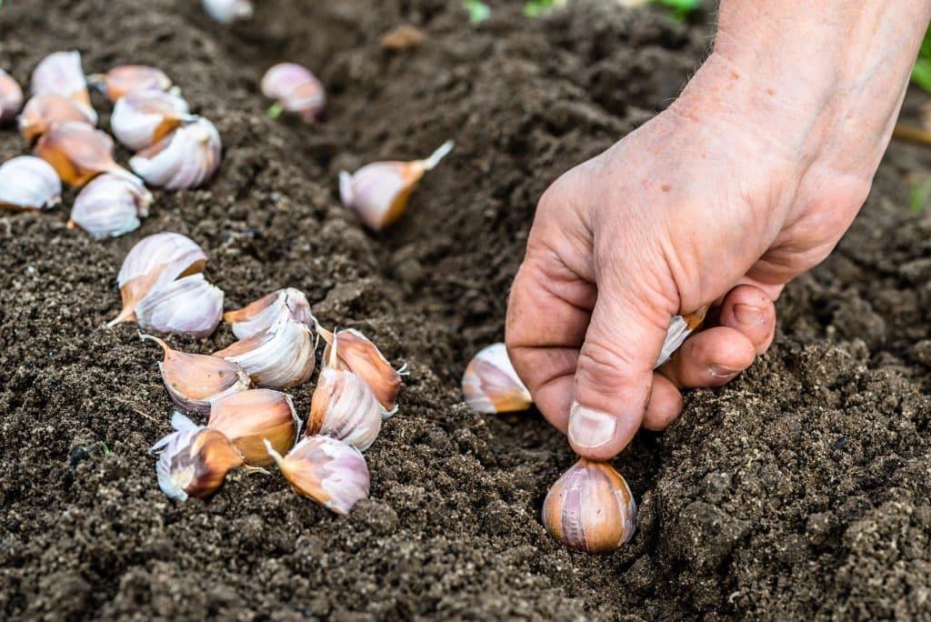 Лучшие дни для посадки чеснока в октябре 2019: по лунному календарю, тонкости посадки чеснока