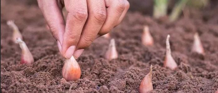 Сроки посадки лука в зиму 2019: посадочный календарь, благоприятные дни