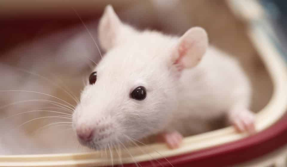 Символ 2020 года Белая Металлическая Крыса: что означает