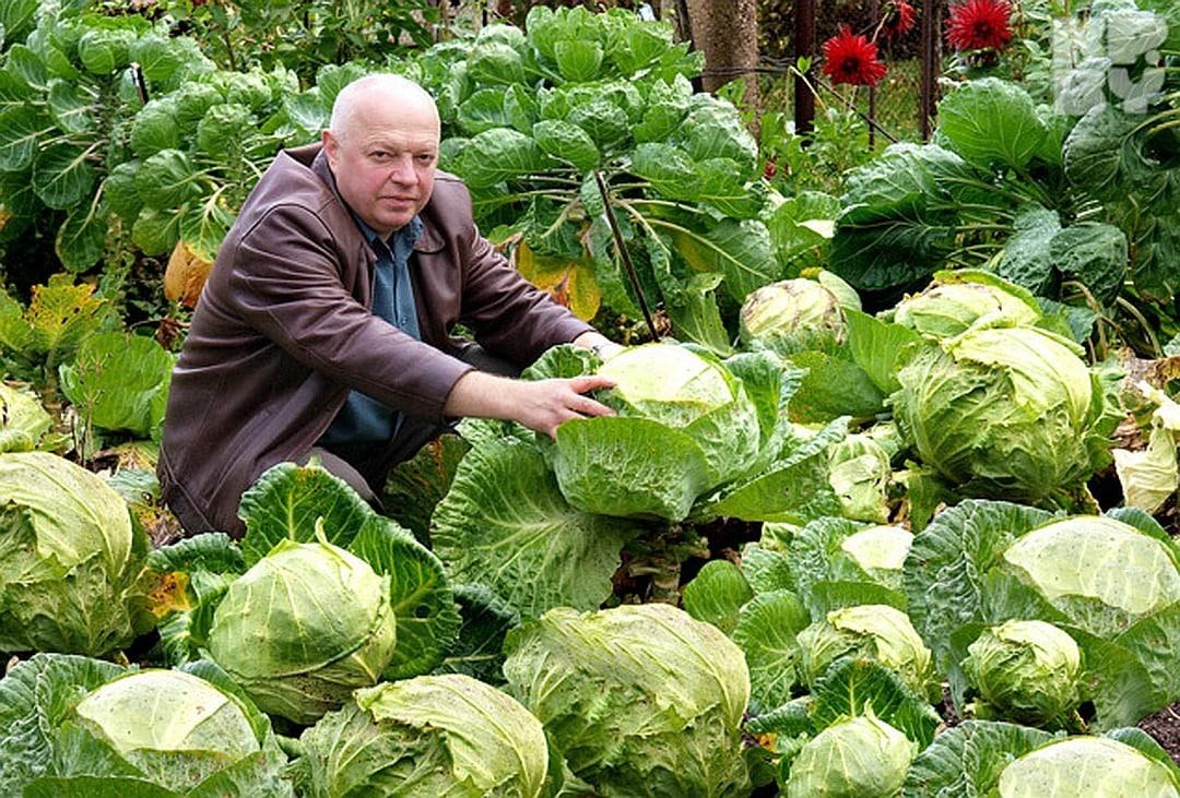 Когда убирать позднюю капусту на хранение с огорода