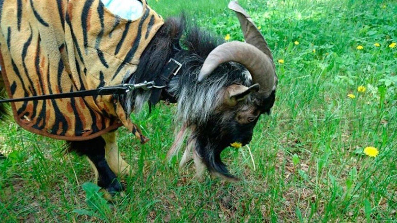 В Приморском сафари-парке умерла звезда Интернета – козел по кличке Тимур