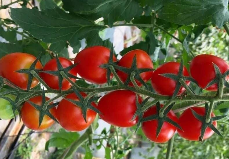 Хорошие сорта томатов для теплиц в Подмосковье на 2020 год: крупные и средние сорта