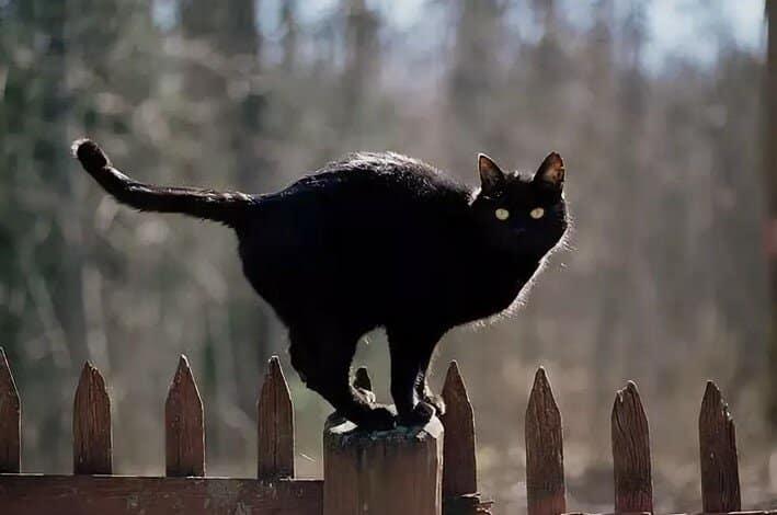 Черные коты – вестники несчастья: правда или нет?